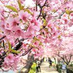 はじめての河津桜
