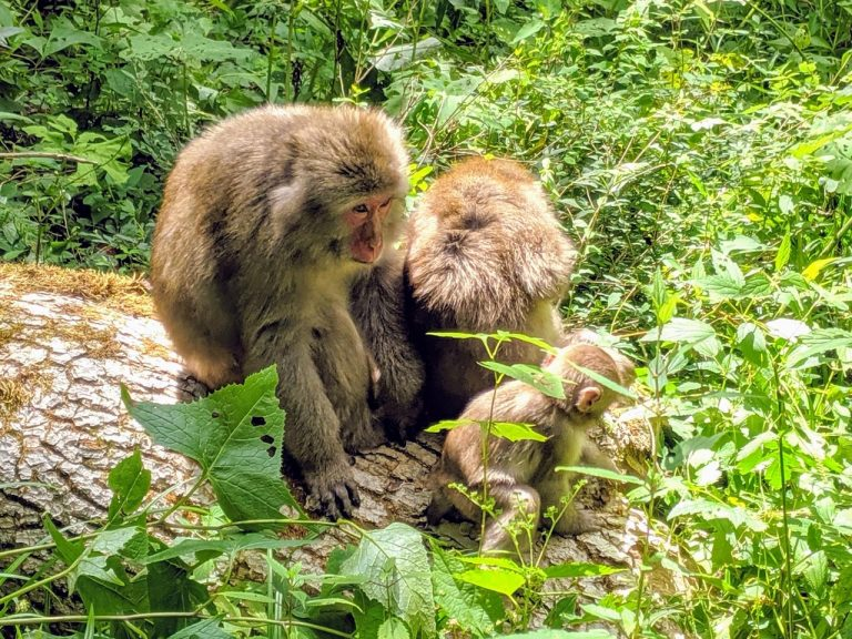 モフモフな猿