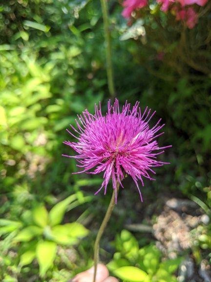 近くに咲いていたアザミ