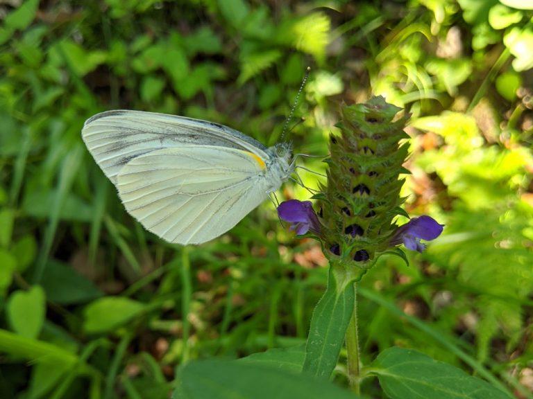 ウツボソウにとまる蝶