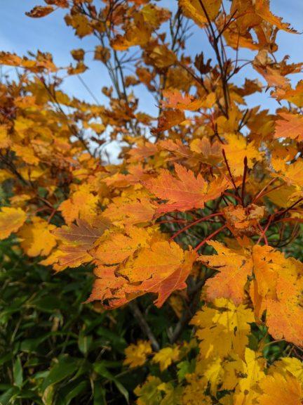 黒谷地~茶臼岳 鮮やかな紅葉